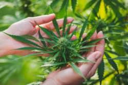 Cannabissucht: Forscher identifizieren Gen