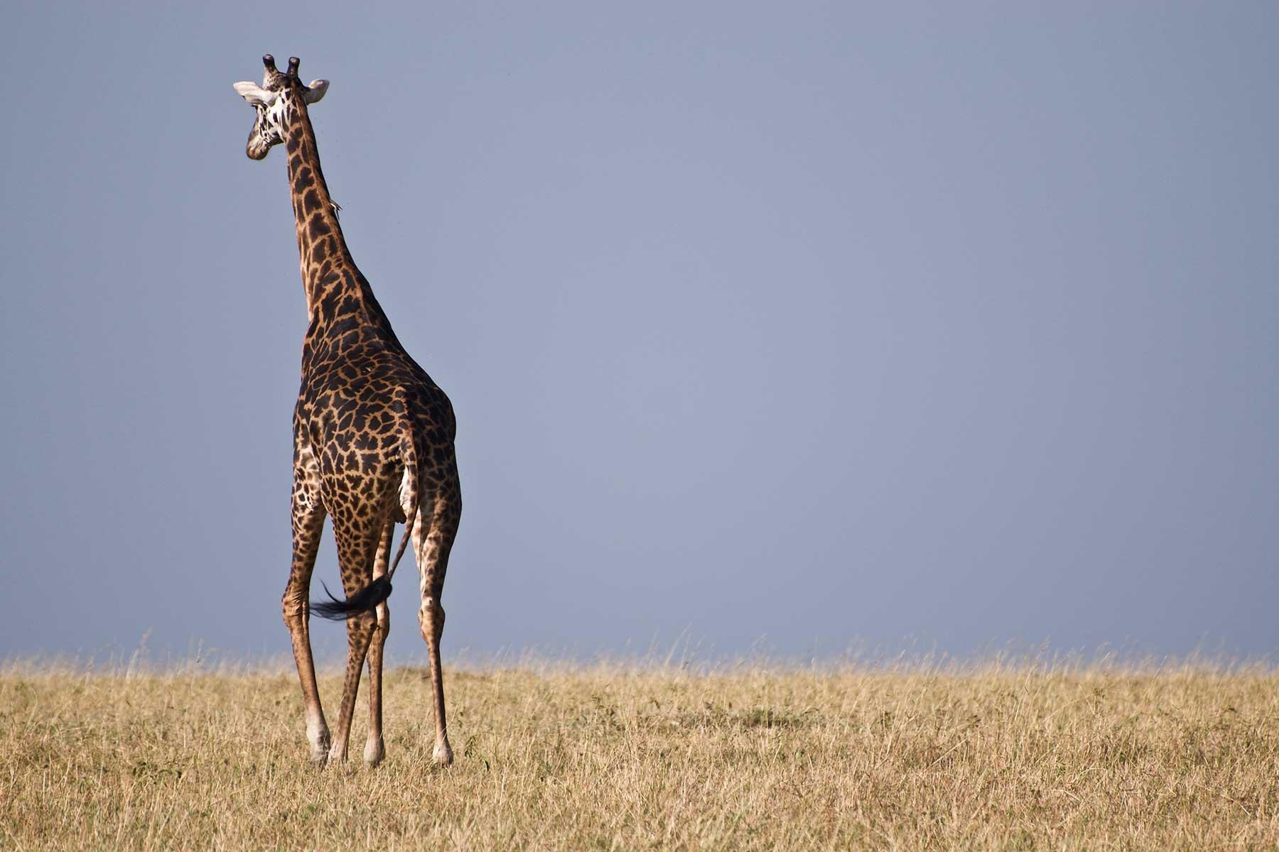 Safari-Kenya-med-boende-på-Entumoto-Camp-hos-Nygren-&-Lind-Resebyrå_4