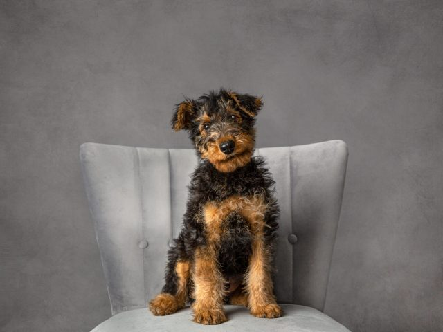 puppy portrait Airedale Offley Photography
