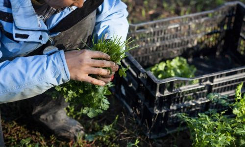 A worker bunches cilantro at Troy Farm