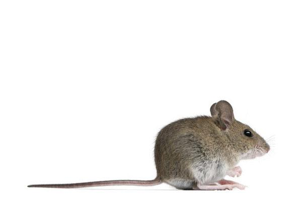rat and mouse extermination