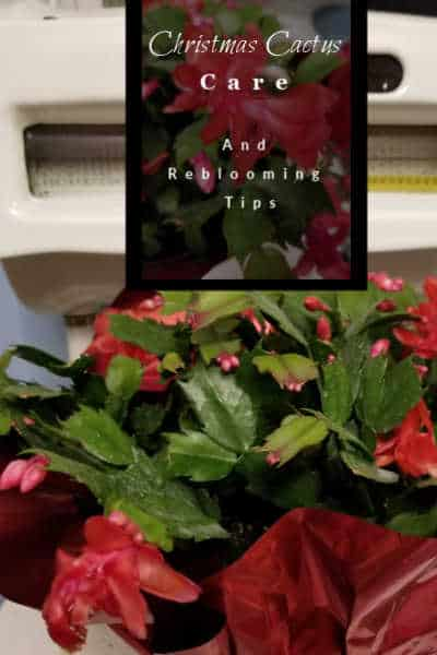 Red blooming Christmas Cactus and how to care for it