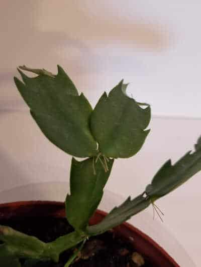 Propagation of Christmas Cactus by removing leaves with tiny hair roots and planting them