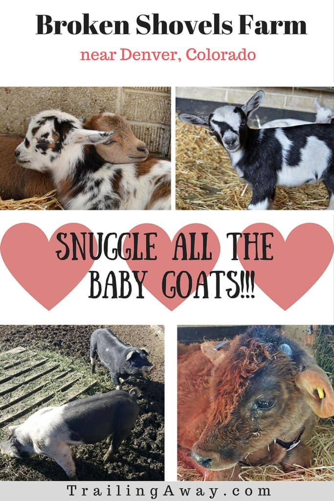 In need of some animal therapy? Broken Shovels Farm near Denver, Colorado is a wonderful place with happy, safe, loving creatures who are always up for a snuggle! From goats to cows to chickens, there are friends here for everyone. #colorado #denver #animaltherapy #brokenshovelsfarm #farm #goats