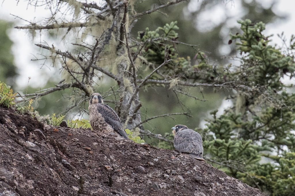 Peregrine Falcons nesting on the rock cliffs at hopewell rocks