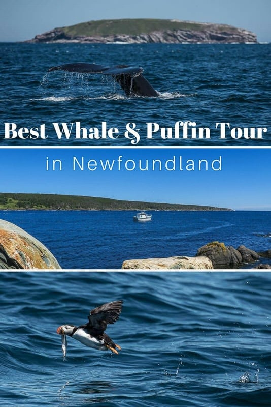 We chose Molly Bawn\'s Whale & Puffin Tour in Newfoundland for their smaller tour size and genuine love for wildlife. And they did not disappoint! #canada #newfoundland #whales #puffins #maritimes #atlanticcanada