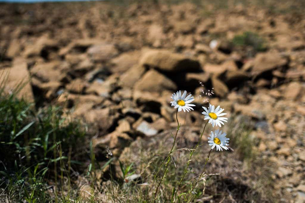 Flowers poking up through a small patch of grass in the barren tablelands.