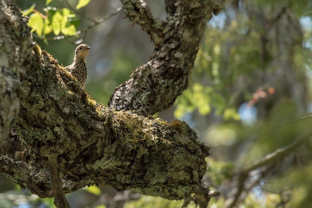 Baby grouse up in a tree on a branch