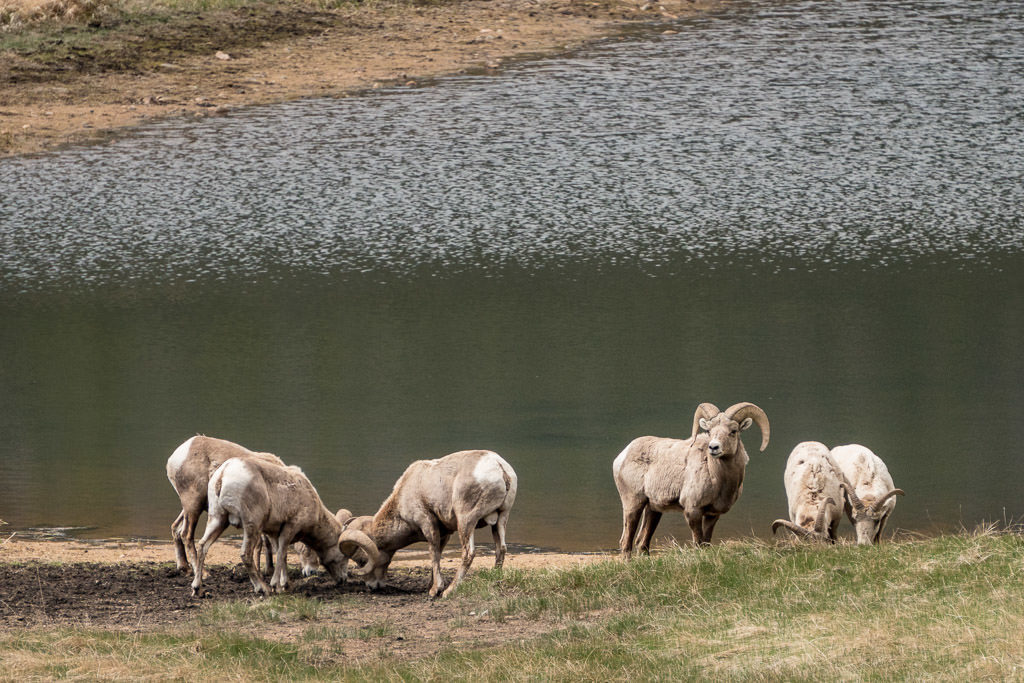 big horn sheep by lake in rocky mountain national park