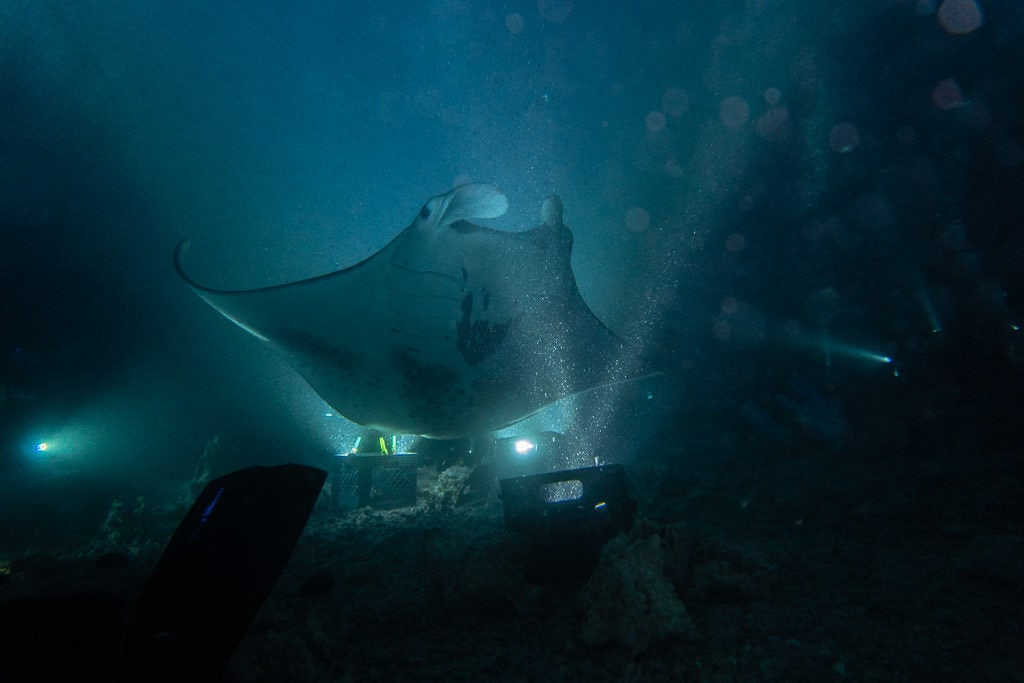 Manta Ray swimming directly over the campfire in Kona