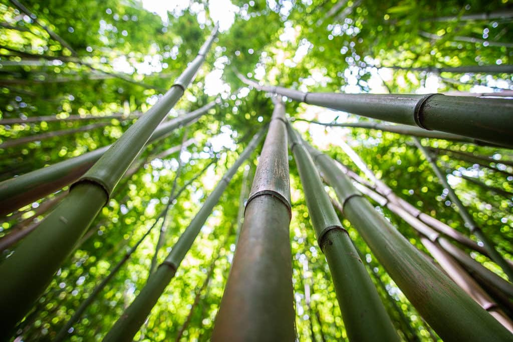Looking up some of the long stalks of the bamboo forest towards the sunny sky