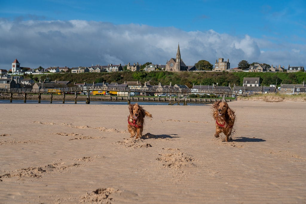dogs running around on Lossiemouth Beach near inverness Scotland with small town in the background