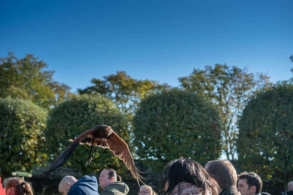 Falcon flying over the small group of people at the Falconry Demonstration at Dunrobin Castle