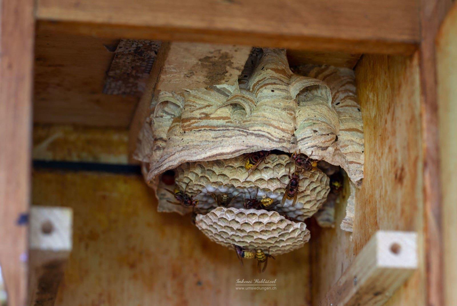 Hornissen Nest (Vespa crabro)