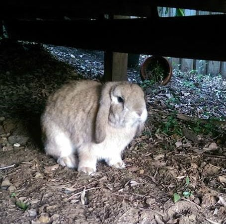Lost Rabbit Found Mona Vale NSW under house