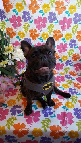 Batman Lost French Bulldog San Diego USA