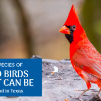 4 Red Birds Found in Texas (Pictures)