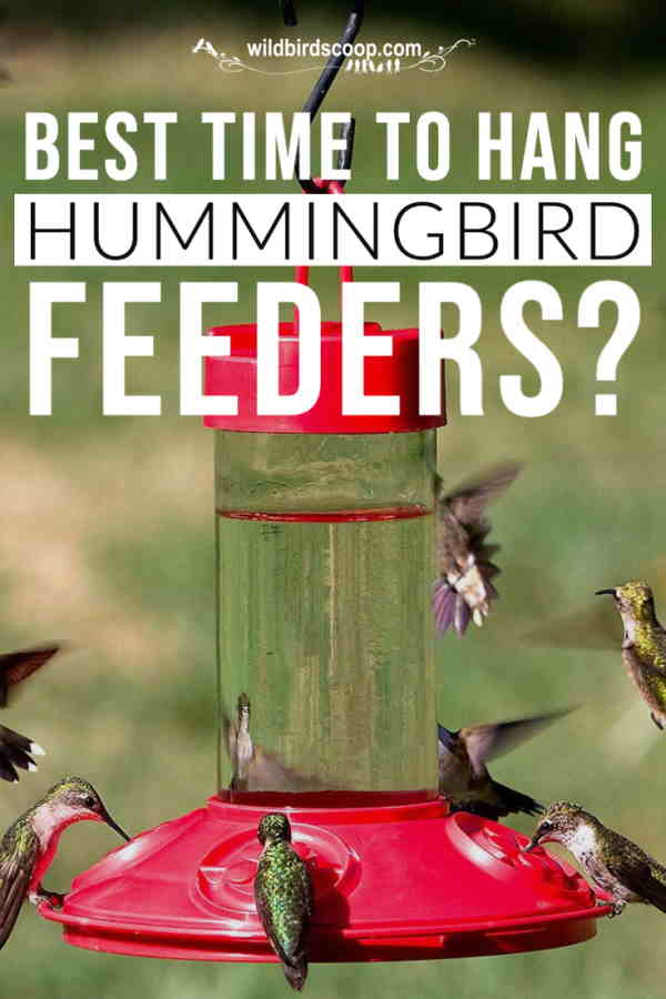 An image of several hummingbirds at a hummingbird feeder. Text reads best time to hang hummingbird feeders?