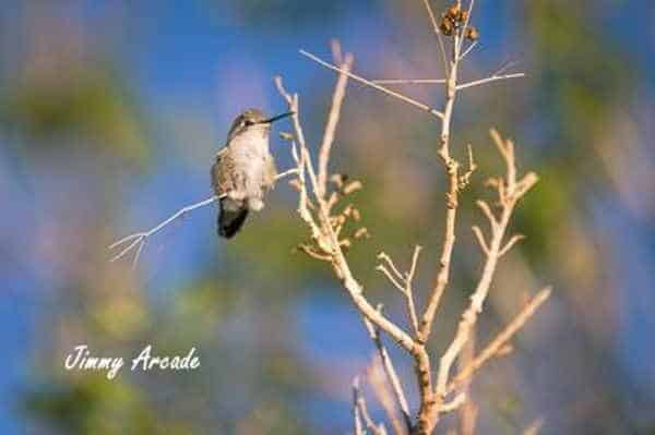 A picture of a hummingbird resting on a branch. Picture by Jimmy Aroade