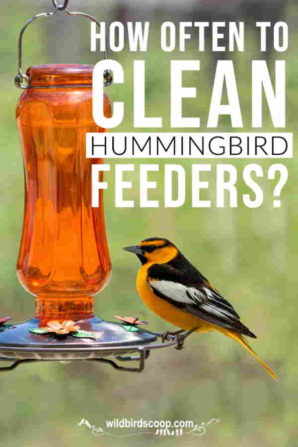 "A picture of a bird at a hummingbird feeder with text that reads ""how often to clean hummingbird feeders?"""