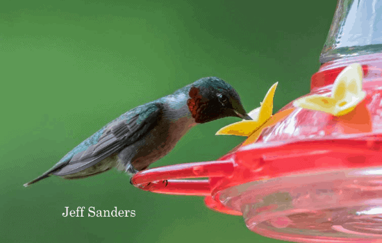 hummer feeding at nectar feeder photo taken by Jeff Sanders