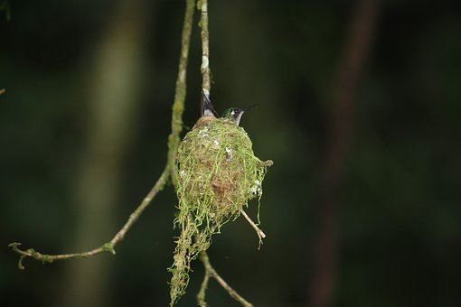 hummingbird nest suspended from a small branch.