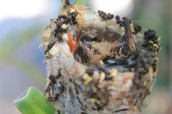 hummingbird nestlings inside a nest.