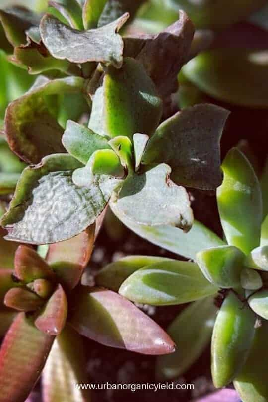 How Often To Water Jade Plant (Overwatering, Underwatering, Tips