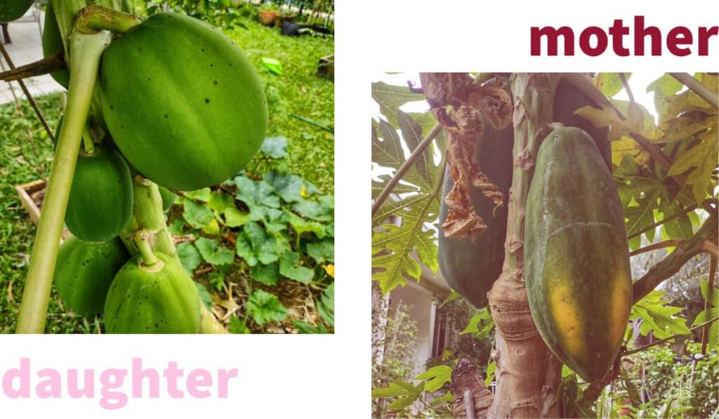 Tropical Garden in May papayas