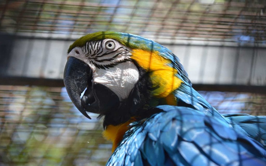 Parrot in a cage.