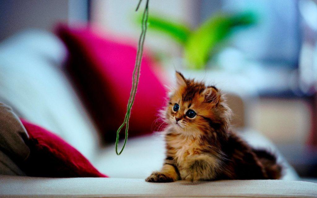 Sentry Fiproguard on kittens