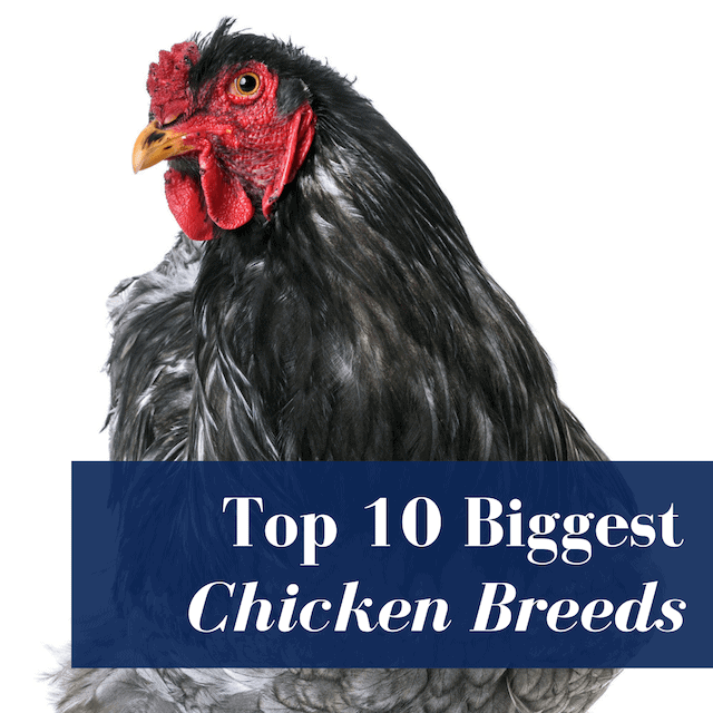 Top 10 Largest Chicken Breeds That Are Also Great Pets