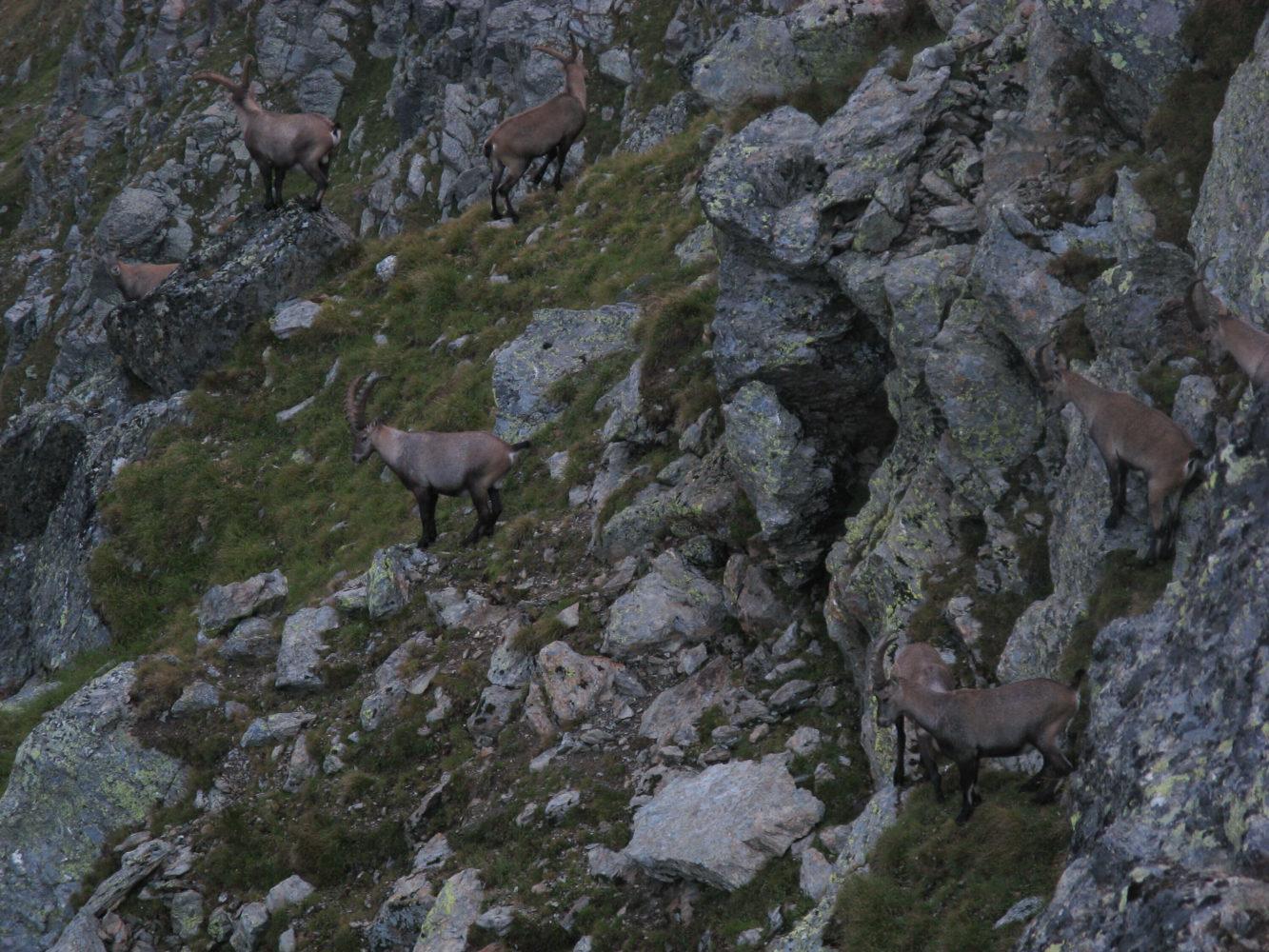 Steinböcke im Gebirge