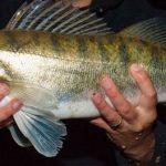 év hala 2020 süllő