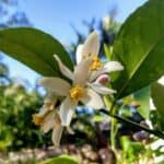 Lemon tree flowering in late August in the tropics