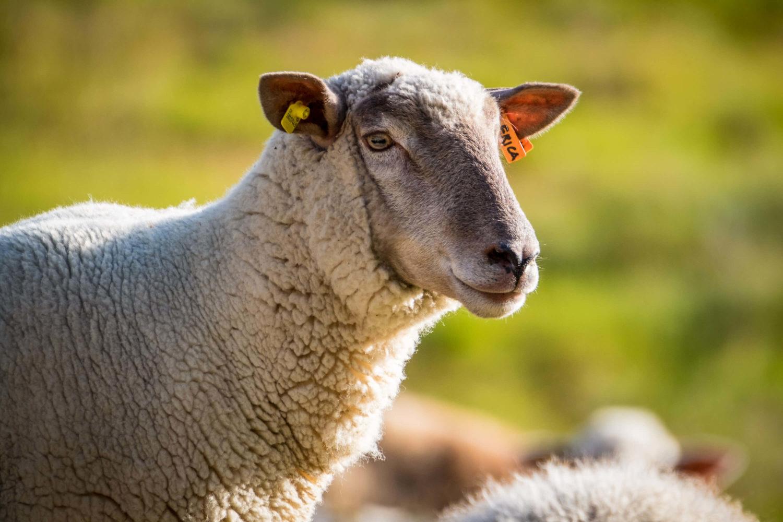 Schaf am Lägh da la Duana