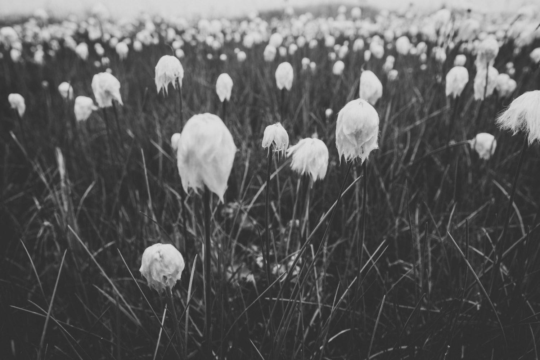 Wollgrass am kleinen Rappensee