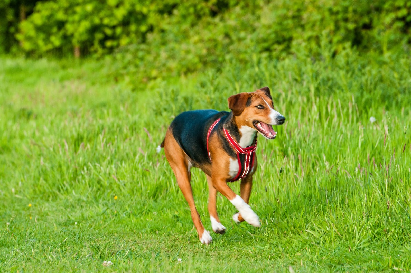 Hamiltonstovare hond