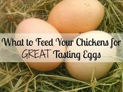 What To Feed Your Chickens For Great Tasting Eggs!