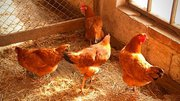 What Your Chicken Coop Should Include (Plus...Mistakes To Avoid) [Podcast]