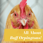 Buff Orpington Chickens: Buyer's Guide
