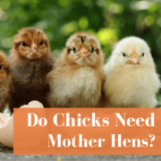 Do Chicks Need Mother Hens?