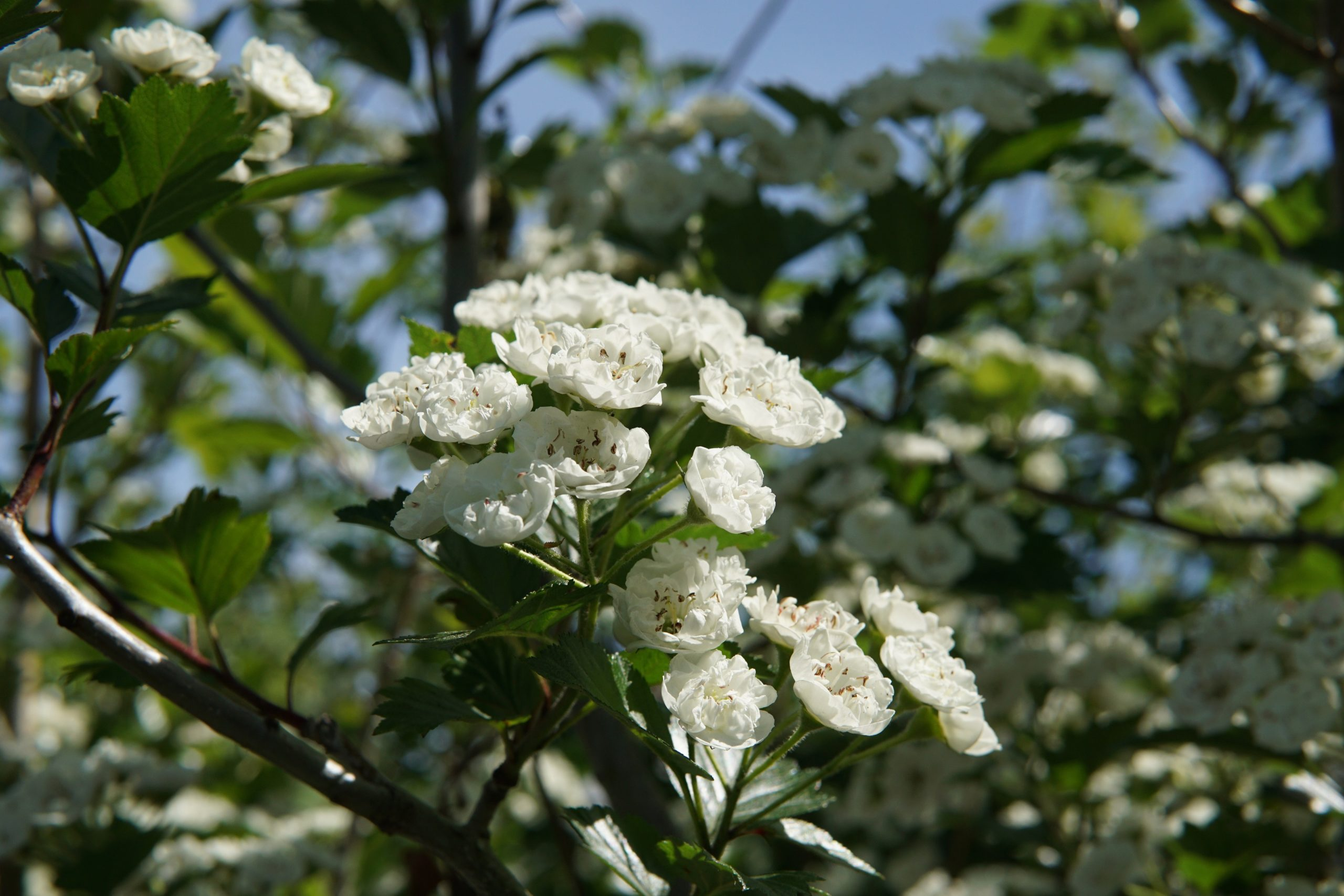 Snowbird Hawthorn bloom