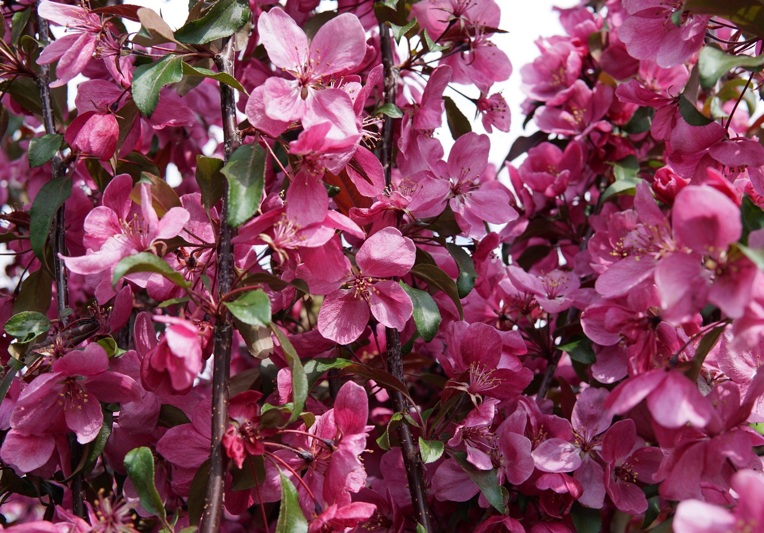 Gladiator Rosybloom Crabapple bloom