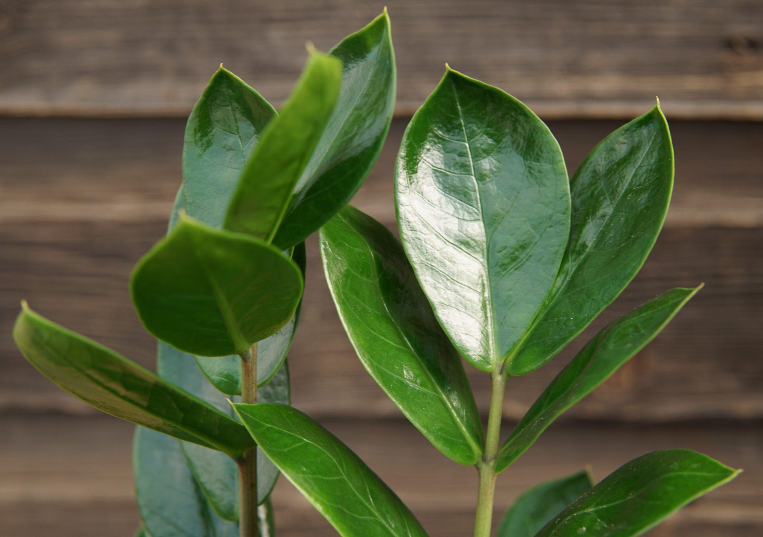 ZZ Plant close up