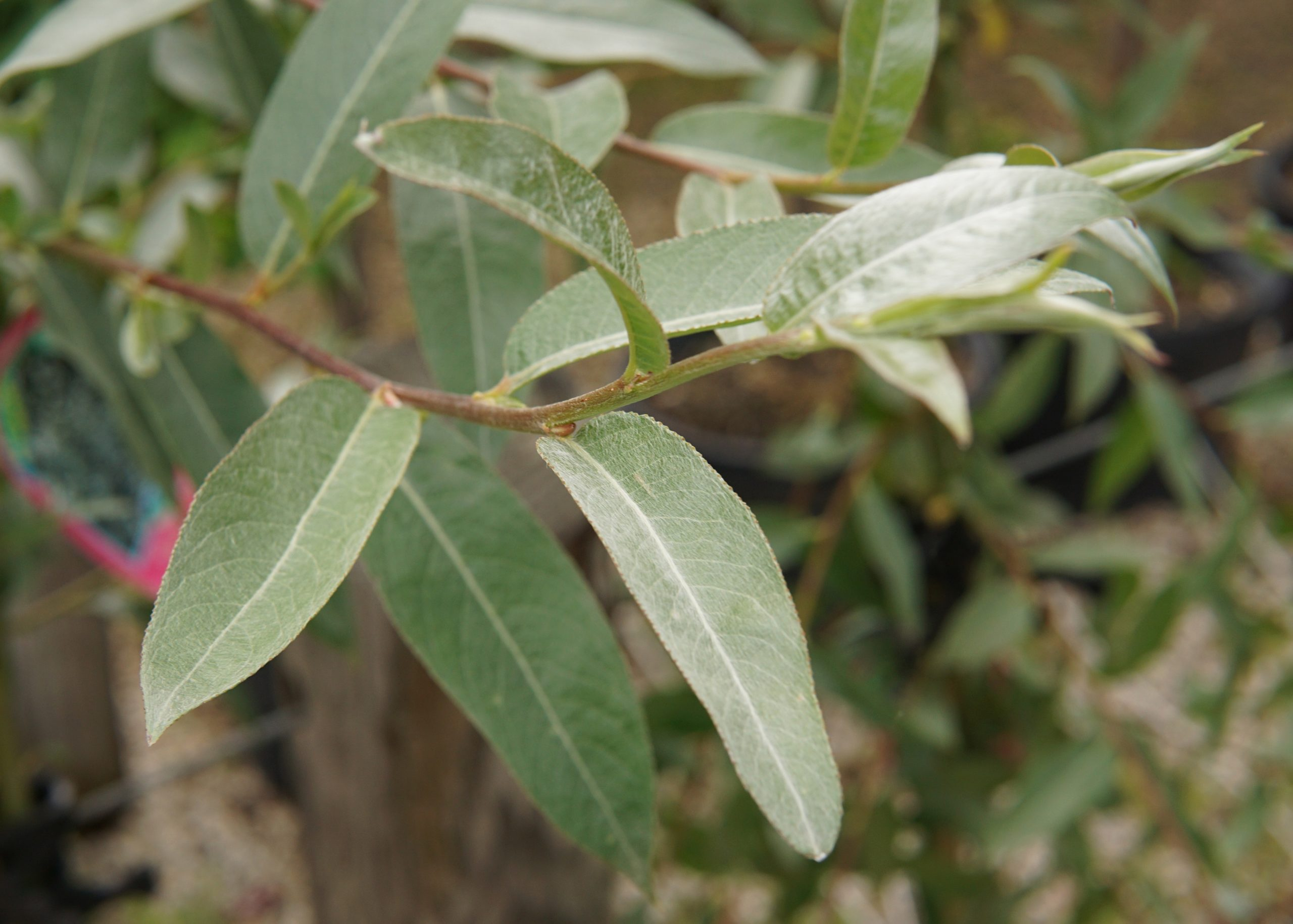 Silver Leaf Willow
