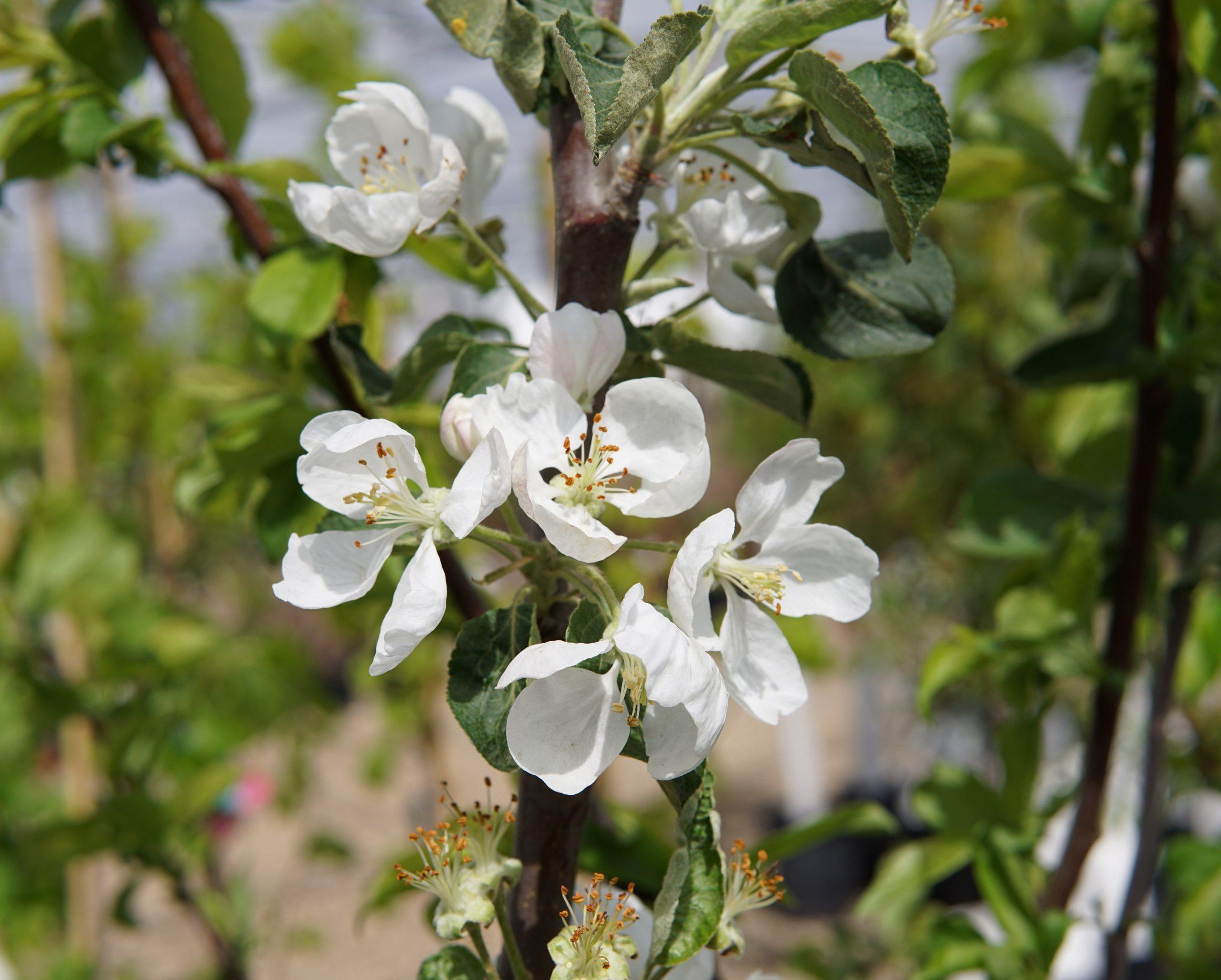 Parkland Apple Bloom
