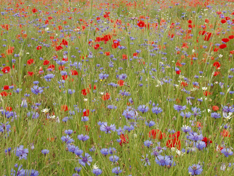 Blumenwiese Allergie Heuschnupfen
