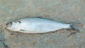 védett halak dunai nagyhering
