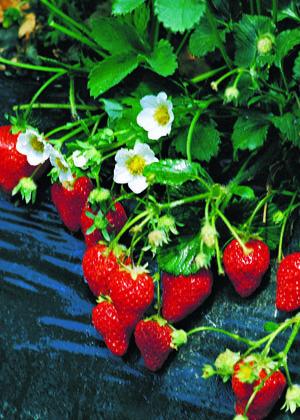 Tri-Star Strawberry Fruit Close Up